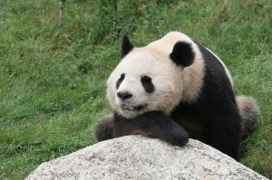 google panda resized 600